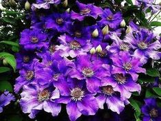 Pruning Clematis in Spring Clematis, Beautiful Gardens, Beautiful Flowers, Landscape Design, Garden Design, Kinds Of Colors, Plant Species, Small Farm, Plantar
