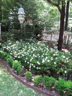 Gardenias trailing ... not suppose to grow over 18 in. but gets to
