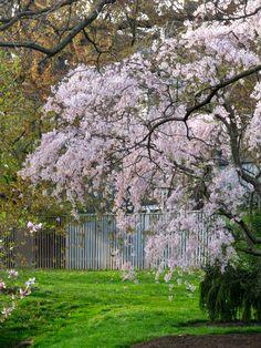 Blooming trees everywhere!