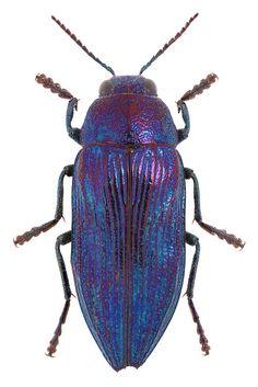 Buprestis rustica Linnaeus, 1758 ♂