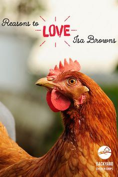 Isa Browns are chooks with personality. They are humble, friendly and affectionate chooks and that's just the beginning. Here are 5 reasons to love Isa Brown chickens, http://www.backyardchickencoops.com.au/5-reasons-to-love-isa-brown-chickens #loveyourchickens  #chickenlove #isabrownchickens