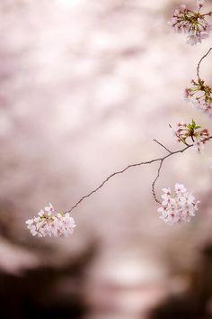cherry blossom @ Tokyo
