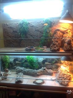 My two terrariums, the upper one for the two girls and the lower one for the boy (brumating at the moment)