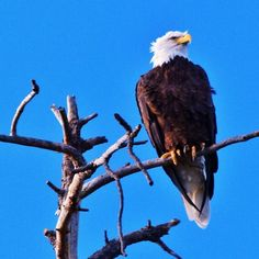 Bald Eagle Overwatch. #eagle #wildlife #bird #nature #instaaz #instagramaz — at Sitgreaves National Forest.