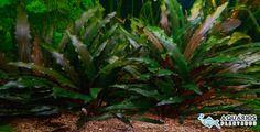 Planta de agua para aquário plantado Cryptocoryne Beckettii.