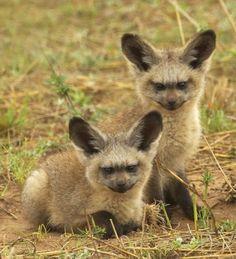 Bat Eared Fox Twins..watching a Roadrunner.....
