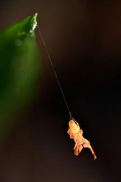 Philoponella variabilis by Sergio Grez