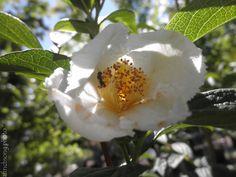 Japanese Stewartia in bloom