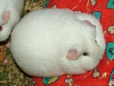 Image for my article: How Fat Should A Guinea Pig Be?
