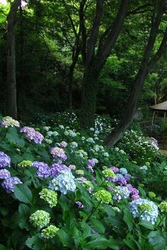 A mass planting of hydrangeas really catches the eye