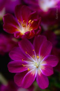 flowersgardenlove:  ✯ Lewisia Cotyledon Beautiful gorgeous pretty flowers