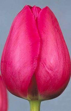 Tulip 'Barcelona'