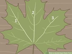 How to Identify Sugar Maple Trees. The sugar maple tree (Acer saccharum) grows abundantly in the northeastern part of North America: the northeastern United States (including as far south as Tennessee) and the southeastern portion of. Maple Syrup Evaporator, Tapping Maple Trees, Silver Maple Tree, Homemade Maple Syrup, Growing Tree, Trees And Shrubs, Botany, Garden Plants, Plant Leaves