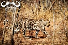 A fantastic leopard sighting @tororiverlodges this big cat is the picture of confidence! #leopard #bigcat #confidence #picture #bigfive #big5 #bigcata #africa #nature #safari #wildlife #southafrica #wild #animals #beautiful #lodge #life #africanature #sighting #canon #photography #fantastic #best #amazing #cat #cats River Lodge, Big 5, African Safari, Canon Photography, Wild Animals, Big Cats, Animals Beautiful, Panther, South Africa