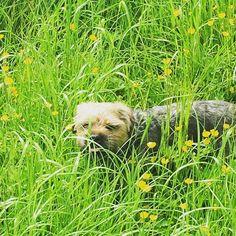 #GeorgeDavis #borderterrier #dogsofinstgram #terrier #dogs #dogsofinstgram #buttercups #meadow #fields #nottingham #nottinghamshire