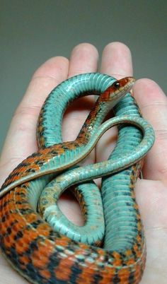homemadedogfood dogtrainingtips ridiculously hypnotically colorful reptiles looking pettips insects snakes good and 17 17 Hypnotically Colorful And Ridiculously Good Looking Snakes You can find Snakes and more on our website Pretty Snakes, Cool Snakes, Colorful Snakes, Beautiful Snakes, Reptiles Et Amphibiens, Cute Reptiles, Beaux Serpents, Beautiful Creatures, Animals Beautiful
