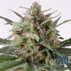 Dinafem Critical Plus Auto Feminised Weed Seeds: The Critical + Auto reaches around 2 - 3 feet indoors yet still manages to produce copious amounts of tasty, resinous buds. The aromas of the original Critical + have been retained, as has the deliciously sweet taste, but this baby shoots from the pot like it has been fired from a gun.