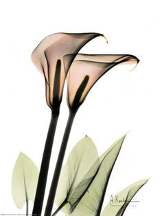 Flower X-ray, by Albert Koetsier xray