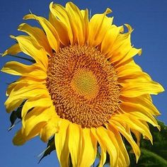 Sunflower Grey Stripe (Helianthus Annuus Grey Stripe) - If you are looking for a tall sunflower, then look no further than this giant sunflower! Grey Stripe Sunflower has a tall stalk with a massive h