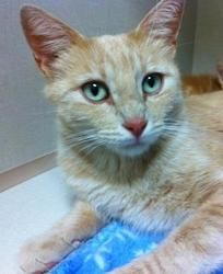 Dandelion is an adoptable Tabby - Orange Cat in Parlier, CA. Dandelion is a rare orange tabby female with the most beautiful eyes you've ever seen! She's a friendly and playful cat who did a lovely jo...