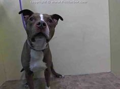 TO BE DESTROYED TUESDAY, 3/11/14- Manhattan Center    BOOMA - A0992726    MALE, BROWN / WHITE, PIT BULL, 3 yrs  STRAY - ONHOLDHERE, HOLD FOR OWNER DIED  Reason OWNER DIED   Intake condition NONE Intake Date 02/27/2014,