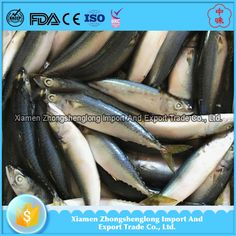 Sea Frozen Pacific Mackerel Scomber Japonicus Fish Catch By Trawl with Good Quality.