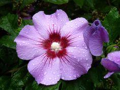 Hybiscus syriacus, Rosen-Eibisch, Rose of Sharon