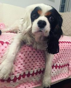 Jessie is an unusual Tri-Color Cavalier King Charles Spaniel. The White ear is a flaw in coloration, but Sweet.
