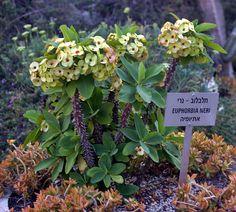 Euphorbia neri in Holon cactus park Cactus Park, Israel, Fruit, Nature, Plants, Naturaleza, Plant, Nature Illustration, Off Grid
