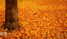 autumn carpet - Pinned by Mak Khalaf You are welcome to visit my Facebook Page: Art of Emotion Photographie by Dora Pi Fine Art autumnautumn carpetcolorsdora piemotionfine artorangeyellow by dorapi