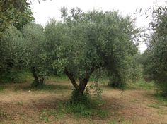 Our Olive Grove, Krestena ilias, Greece Kingston Upon Thames, Greek Restaurants, Olive Tree, Olympia, Countryside, The Good Place, Greece, Old Things, Country Roads