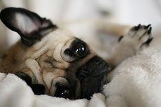 ♥ Pugs
