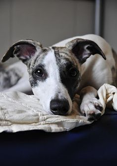 whippets...this looks so much like my dog except she might have some pit bull in her.