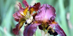 Iris Jardin de l'Ach