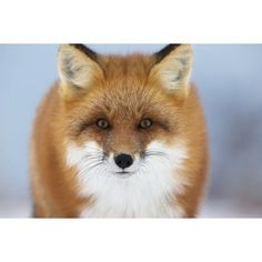 Red Fox Staring At The CameraChurchill Manitoba Canada Canvas Art - Robert Postma Design Pics (38 x 24)