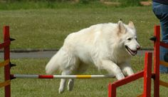 White German Shepherd Dog. It's so white and majestic and fluffy!!!