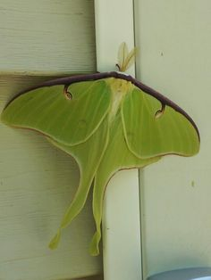I found a moth just like this one. I was on a brick wall outside a bank in Monroe Michigan. I had never seen one before that day. Beautiful and very large for a moth
