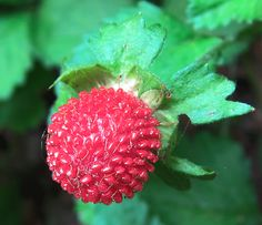 Wood Strawberries have a yellow flower and no flavor.