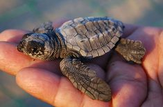 Leatherback Sea Turtle | Baby Leatherback Sea Turtle - Only 1% Of These Cute Creatures Grow ...
