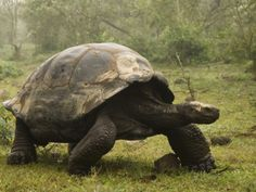 Metal Print: Galapagos Giant Tortoise With Tui De Roy Near Alcedo Volcano, Isabela Island, Galapagos Islands by Pete Oxford : Tortoise As Pets, Red Footed Tortoise, Sulcata Tortoise, Giant Tortoise, Tortoise Turtle, Reptiles And Amphibians, Mammals, Galapagos Islands, Tortoises