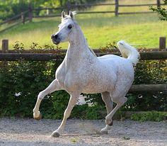 Arabian broodmare, Serene Ciai Dii.