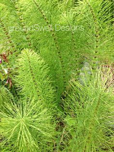 Horsetail at Doolin Cave Cave, Bloom, Herbs, Plants, Caves, Herb, Plant, Planets, Medicinal Plants