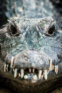 Alligator, omg those teeth, those eyes!