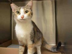 ABU DHABI - A1039577 - - Manhattan  ***TO BE DESTROYED 07/06/15*** ABU DHABI is a big name for this bright eyed sweet girl, found as a 'stray' in 'da Bronx'. ABU DHABI translates into 'rich in something' and she was noted to be so sweet during her evalutation that she is surely rich in sweetness and goodness! Yet, this darling girl is in grave danger of losing her life despite her tabby calico markings and striking big green eyes. ABU DHA