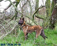 Baden K9 - Dutch Shepherd