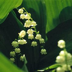 """Lily-of-the-Valley   DEER-RESISTANT (poisonous) shade-loving ground cover, quick spreader.     Plant Name: Convallaria majalis    Growing Conditions: Shade, moist,  well-drained soil    Size: To 9"""" tall and spreads several feet     Zones: 2-7"""