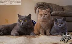 Charcoal, Cream, and Blue British Shorthair