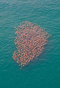 A school of stingrays.