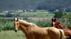 Views of the Small Town of Tulbagh in the rich Wine lands of the Boland Western Cape South Africa Small Towns, South Africa, Westerns, Cape, Horses, Animals, Mantle, Cabo, Animales