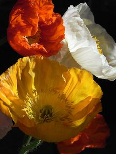 Iceland poppies by Floralynne